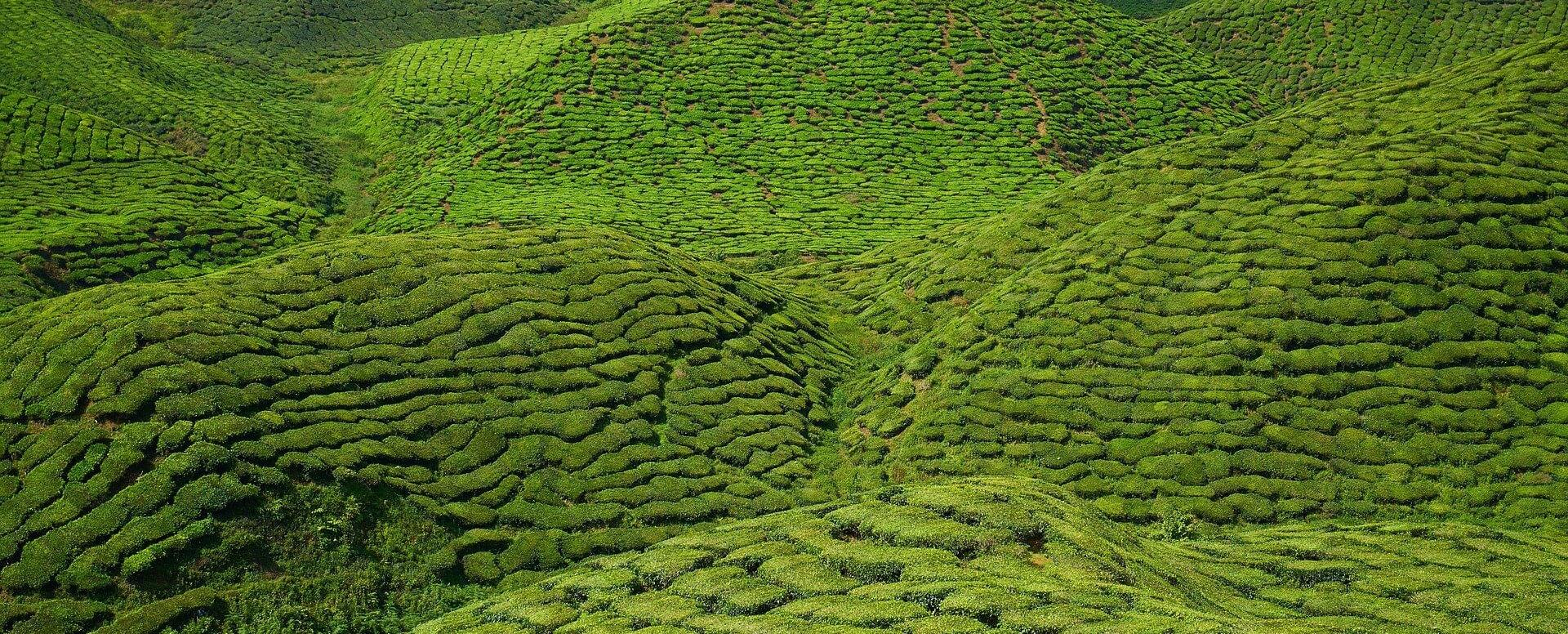 4. Pour les amateurs de thé : baladez-vous sur la Route du Thé - Île Maurice