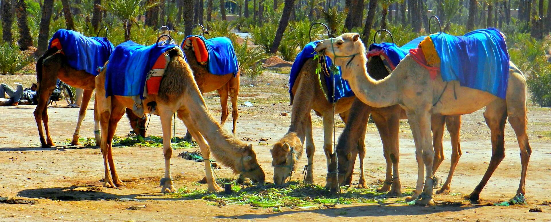 Get close to camels - Marrakech