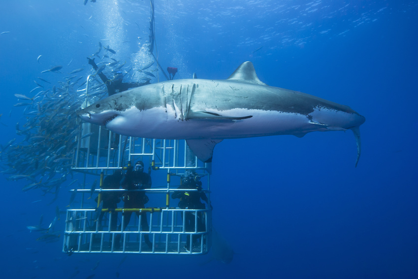 A groundbreaking experience: swimming with sharks in Cape Town