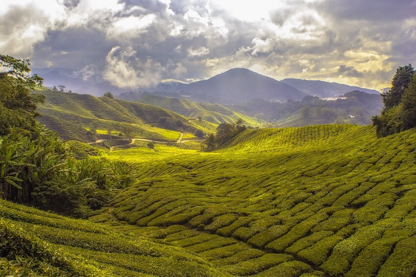 3- Discover tea fields in Nuwara Eliya