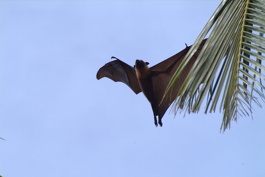 See giant bats in the gorges of the Black River