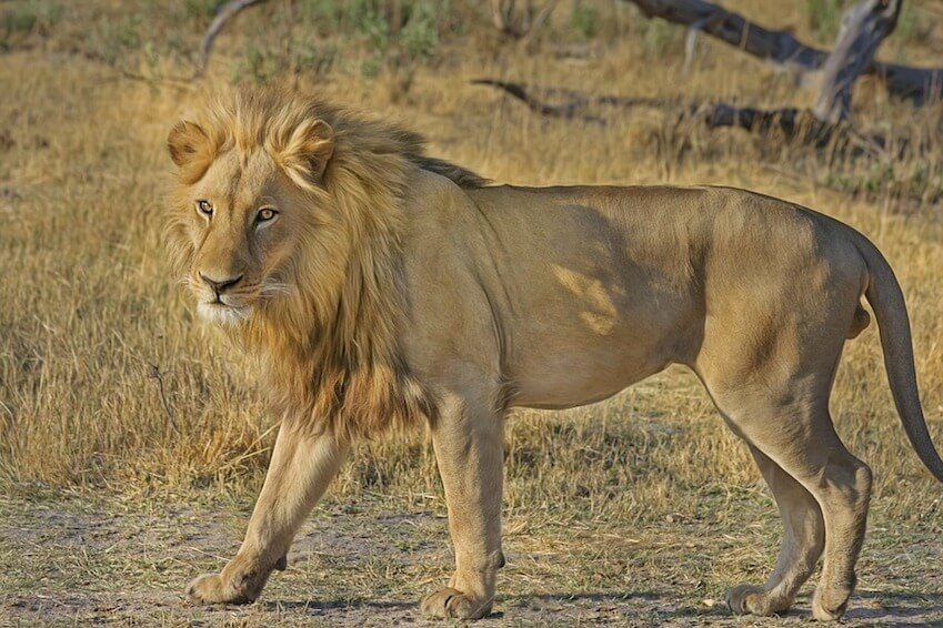 Find yourself face to face with a lion in South Africa